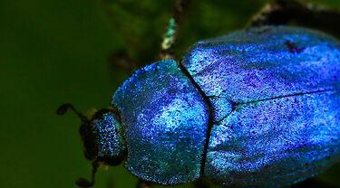 Insekt mit blau-schimmerndem Chitin-Panzer